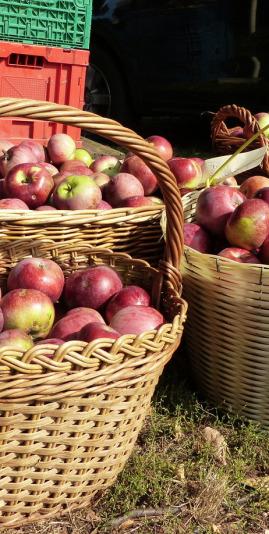Rote Sternrenette aus dem Apfel-Jahrgang 2016